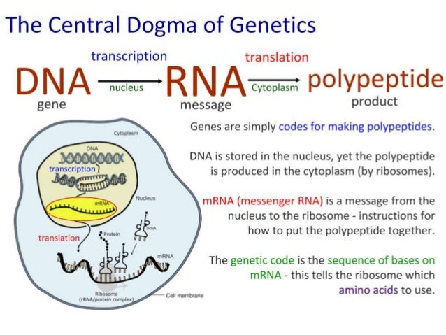 IB Biology 2.7 Slides: Transcription & Translation