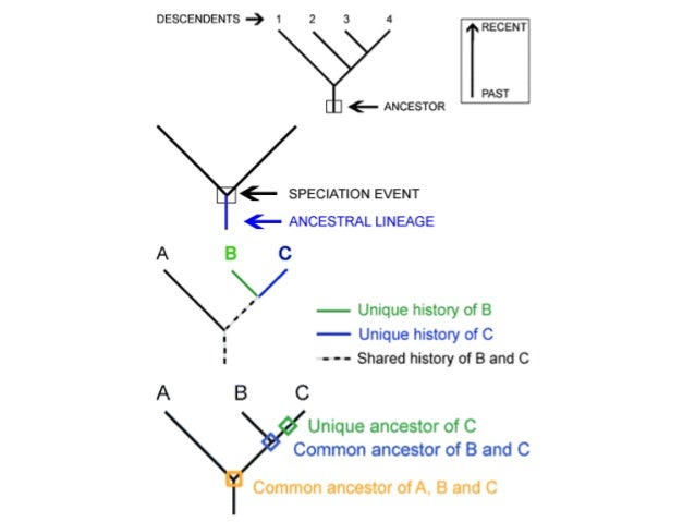 ib biology 5 4 slides  cladistics