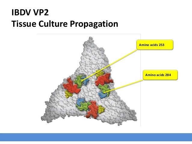 IBDV VP2 Tissue Culture Propagation Amino acids 253 Amino acids 284
