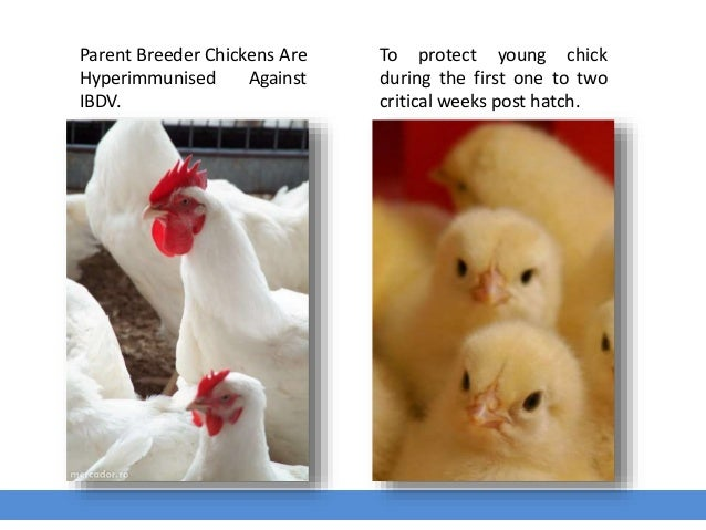 To protect young chick during the first one to two critical weeks post hatch. Parent Breeder Chickens Are Hyperimmunised A...