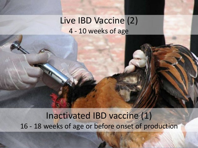 Live IBD Vaccine (2) 4 - 10 weeks of age Inactivated IBD vaccine (1) 16 - 18 weeks of age or before onset of production