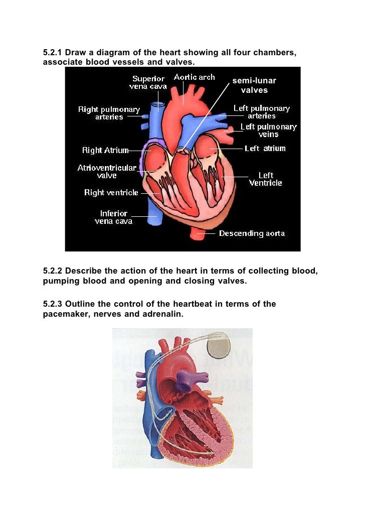 Ib fiology01 11 521 draw a diagram of the heart showing all four chambers associate blood vessels and valves ccuart Gallery