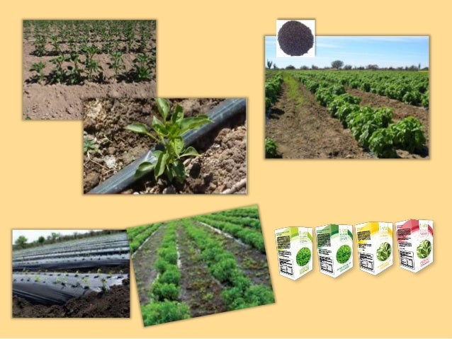 Cultivo de plantas arom ticas y afines for Cultivo de plantas aromaticas y especias