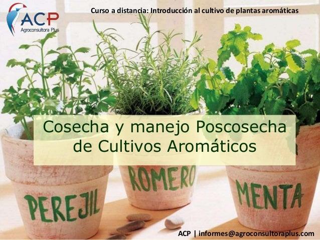 Cosecha y manejo poscosecha en cultivos de arom ticas for Cultivo de plantas aromaticas y especias