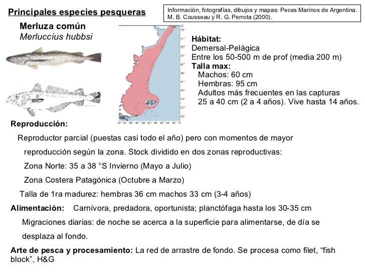 Principales especies pesqueras Merluza común Merluccius hubbsi Hábitat: Demersal-Pelágica Entre los 50-500 m de prof (medi...