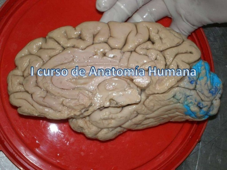 I Curso De AnatomíA Humana
