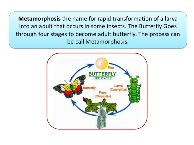 Metamorphosis the name for rapid transformation of a larvainto an adult that occurs in some insects. The Butterfly Goesthr...