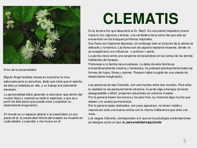 CLEMATIS 5 Es la tercera flor que descubrió el Dr. Bach. Es una planta trepadora (crece hacia la luz) vigorosa y leñosa, u...