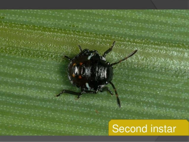 Identification and control of (potato green bug)(citrus