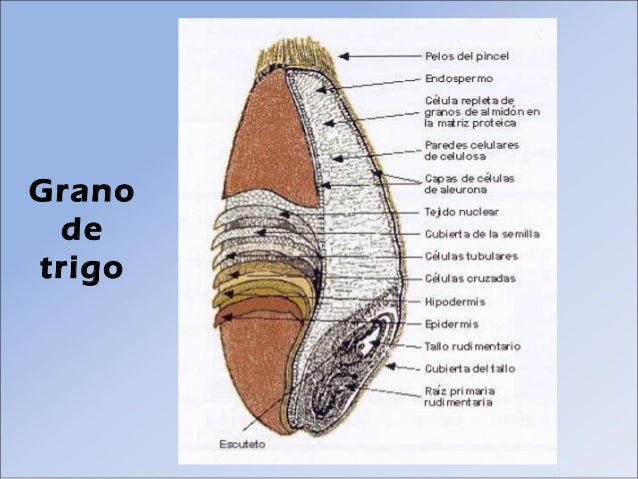 Dibujo Del Grano De Trigo: Tecnología Agroindustrial De Los Cereales (panificacion