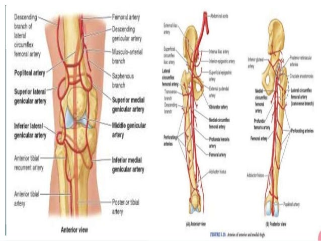 Knee nerves diagram auto electrical wiring diagram knee joint rh slideshare net anterior knee nerve anatomy nerves on the inner part of the ccuart Images