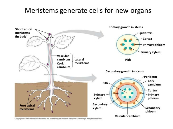Stem is what Plant stem: structure, functions