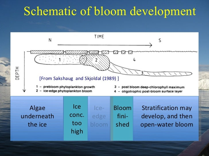 Schematic of bloom development [From Sakshaug  and Skjoldal (1989) ] Algae underneath the ice Ice conc. too high Ice-edge ...