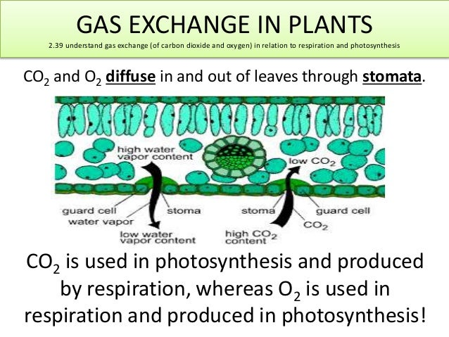 GAS EXCHANGE IN PLANTS  2.39 understand gas exchange (of carbon dioxide and oxygen) in relation to respiration and photosy...