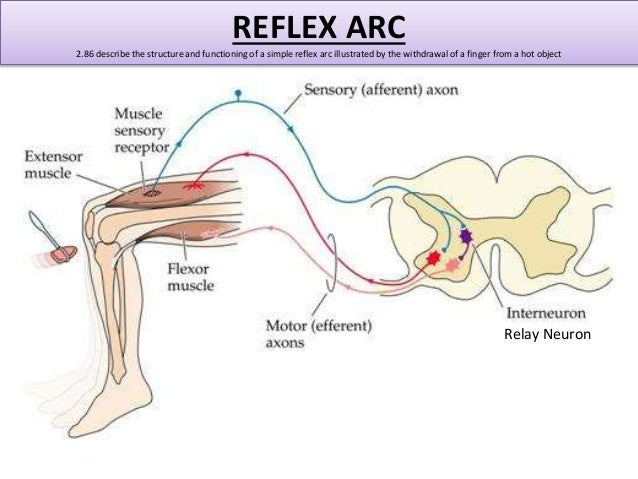what is a simple reflex arc