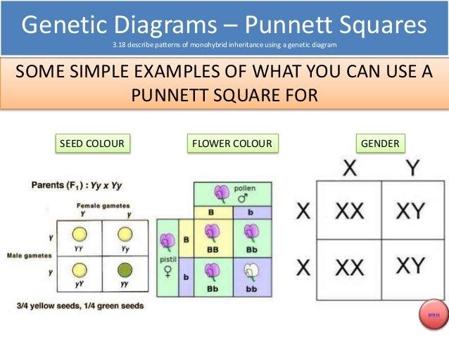 how to make a cross diagram genetics