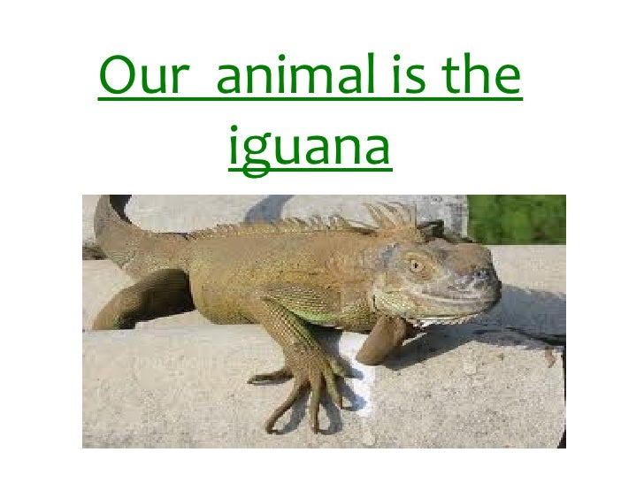 Our  animal is the iguana
