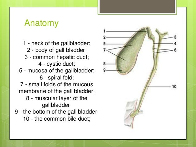 Anatomy of gall bladder and excretory bile ducts
