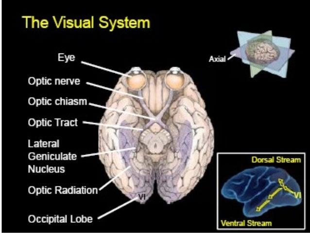• Prosencephalon • Optic vesicles • Optic cup • Optic stalk • Outgrowths of brain specialized for sensitivity of light, en...