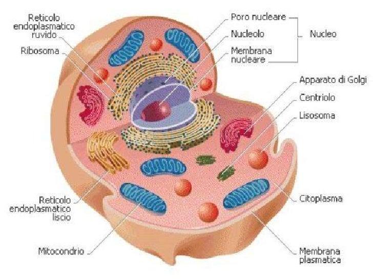 •È presente in tutte le cellule EUCARIOTE;  •Ha una posizione e una forma variabili;  •La posizione e la forma del nucleo ...