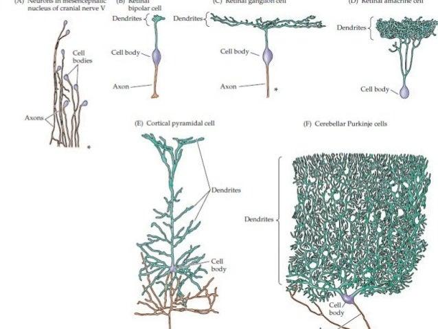 {fl} IVEUTDHS lll IÏIESEÏICEPHBIIC (D) Rflflflal (IJ) Ixeunm HIIÏBCÏIIE Ill       nucleus of cranial nerve V bipolar cell Den...