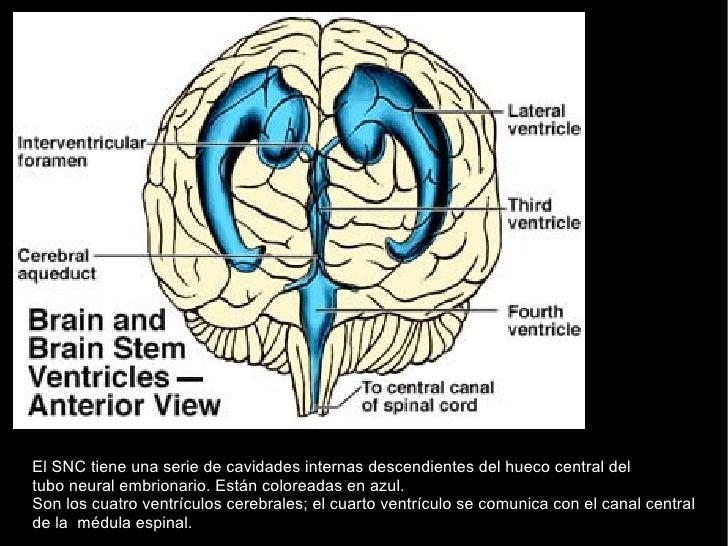 El SNC tiene una serie de cavidades internas descendientes del hueco central del tubo neural embrionario. Están coloreadas...