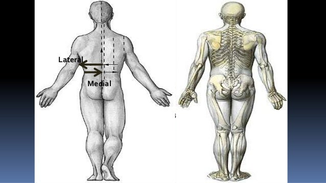 ProximalLateral          Medial                   Proximal                                  Distal                     Dis...