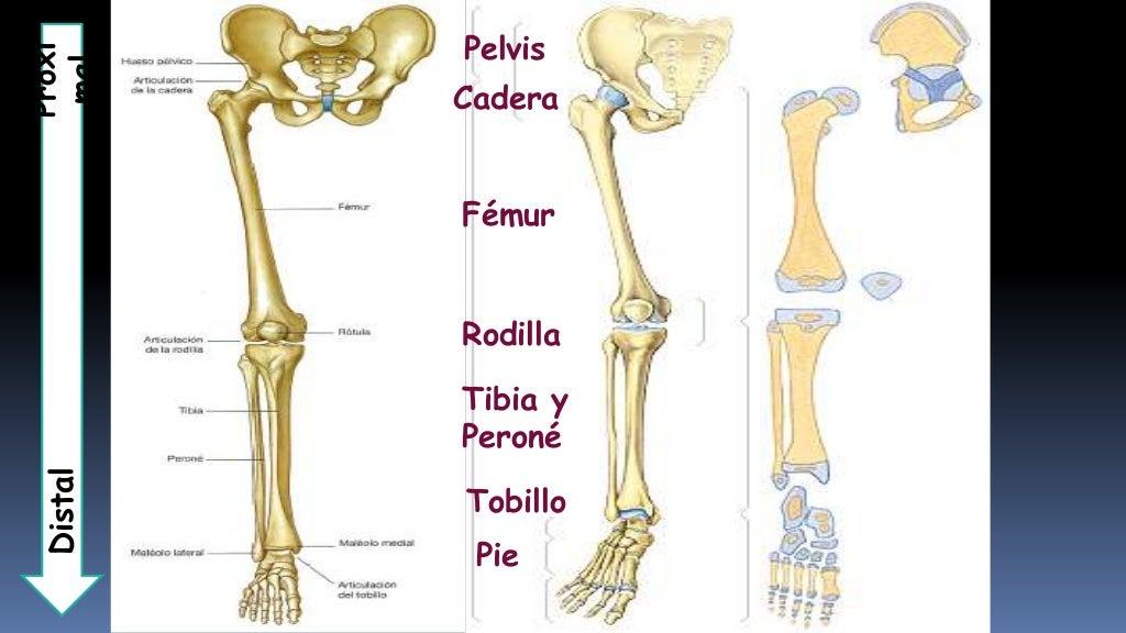 Perfecto Anatomía Fémur Distal Cresta - Imágenes de Anatomía Humana ...