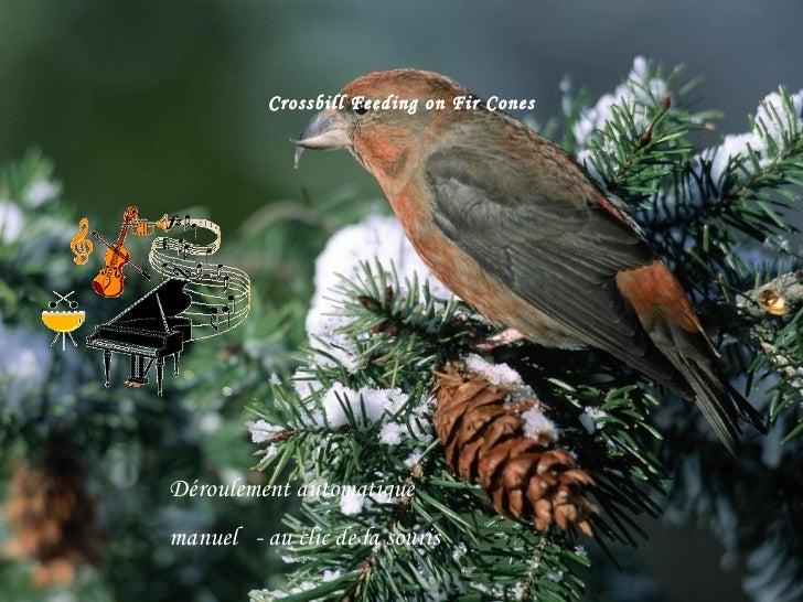 Crossbill Feeding on Fir Cones Déroulement automatique  manuel  - au clic de la souris