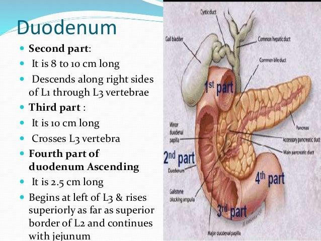 Anatomy of small intestine