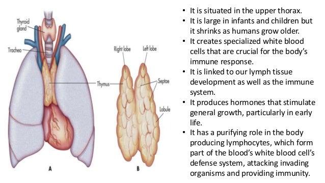 Immune system attaching thyroid