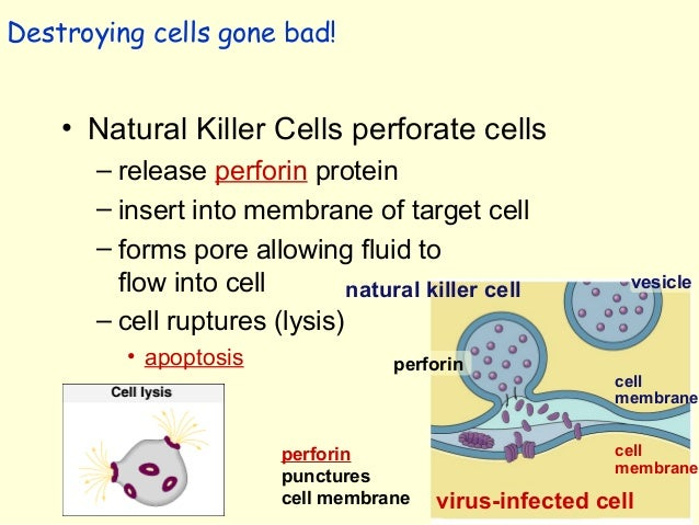 Natural Killer Cells Attack The Target Cell S Membrane By