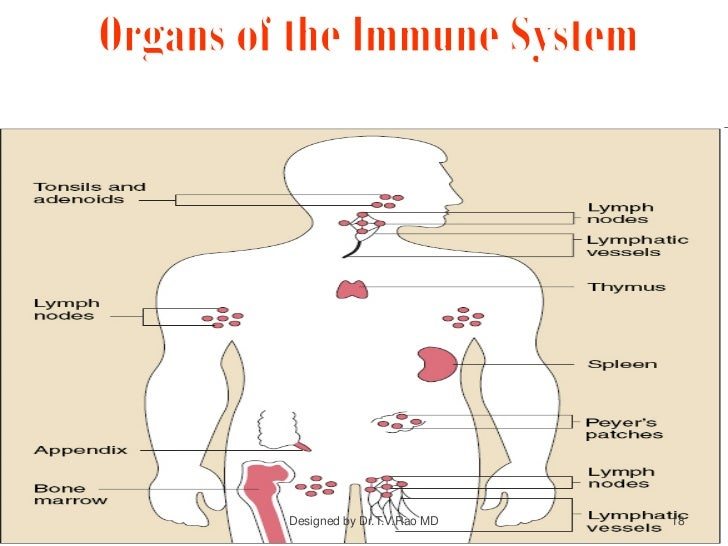 immune system - structure and functions diagram of immune system flow diagram of cardiovascular system