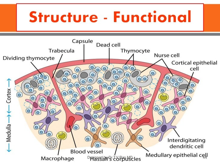 immune system - structure and functions, Human Body