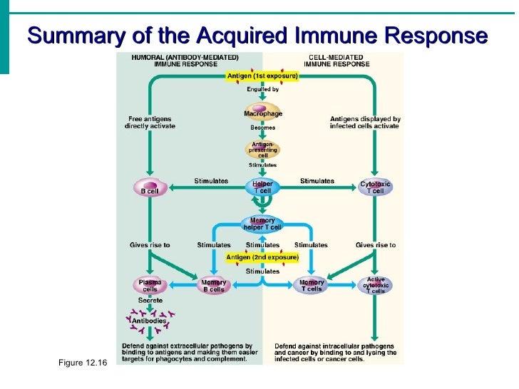 Immune Response System Diagram Trusted Wiring Diagram
