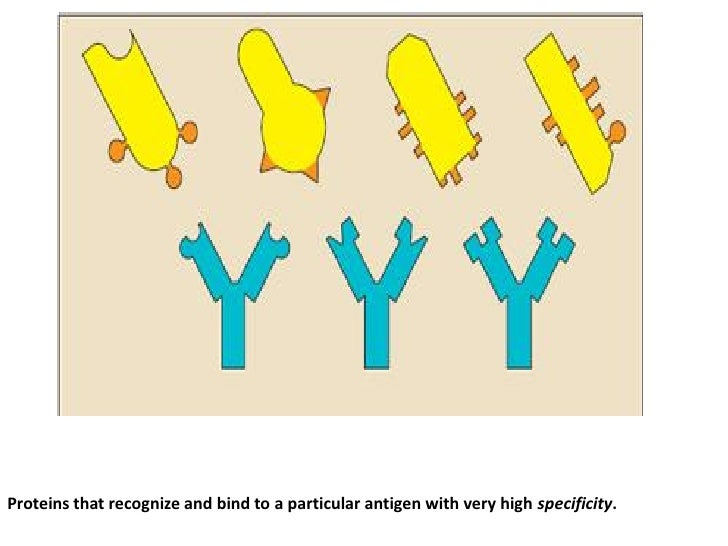 Proteins that recognize and bind to a particular antigen with very high specificity.