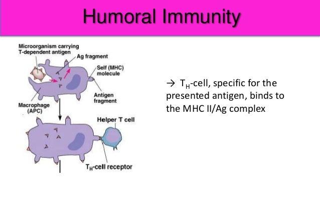 humoral immunity immune response cellular basic princeples cell apc antigen specific