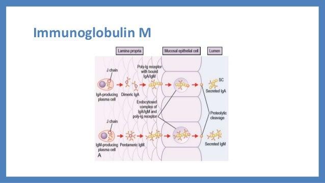 Immunoglobulin structure and function
