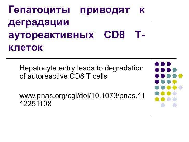 Гепатоциты приводят кдеградацииаутореактивных CD8 Т-клеток Hepatocyte entry leads to degradation of autoreactive CD8 T cel...