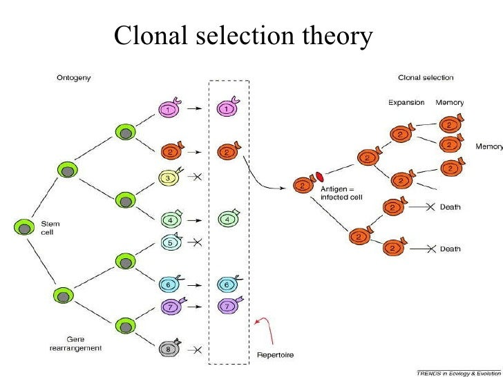 Natural Selection Theory Of Antibody Formation