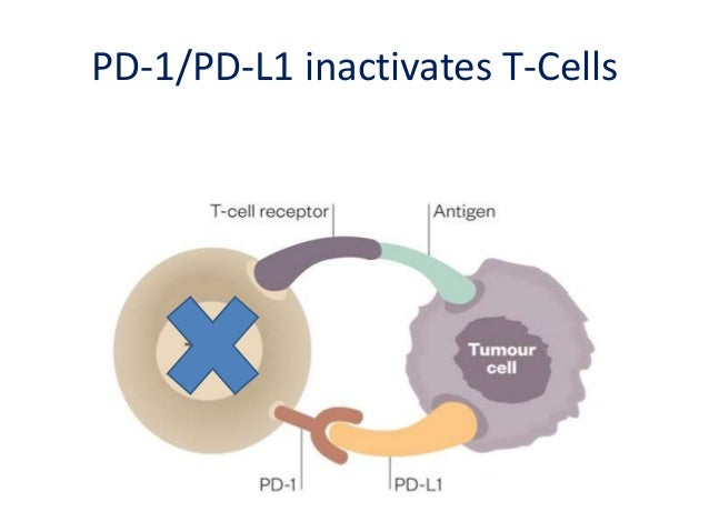 Antibodies to PD-1 or PD-L1 prevent tumor cells from inactivating T-cells
