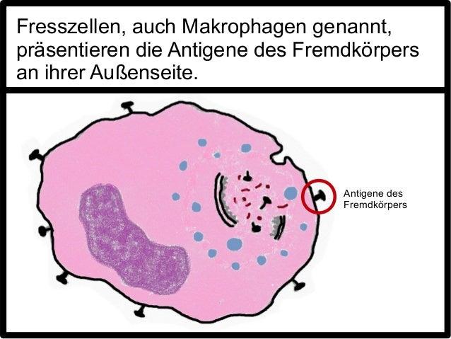 Fresszellen, auch Makrophagen genannt,präsentieren die Antigene des Fremdkörpersan ihrer Außenseite.                      ...