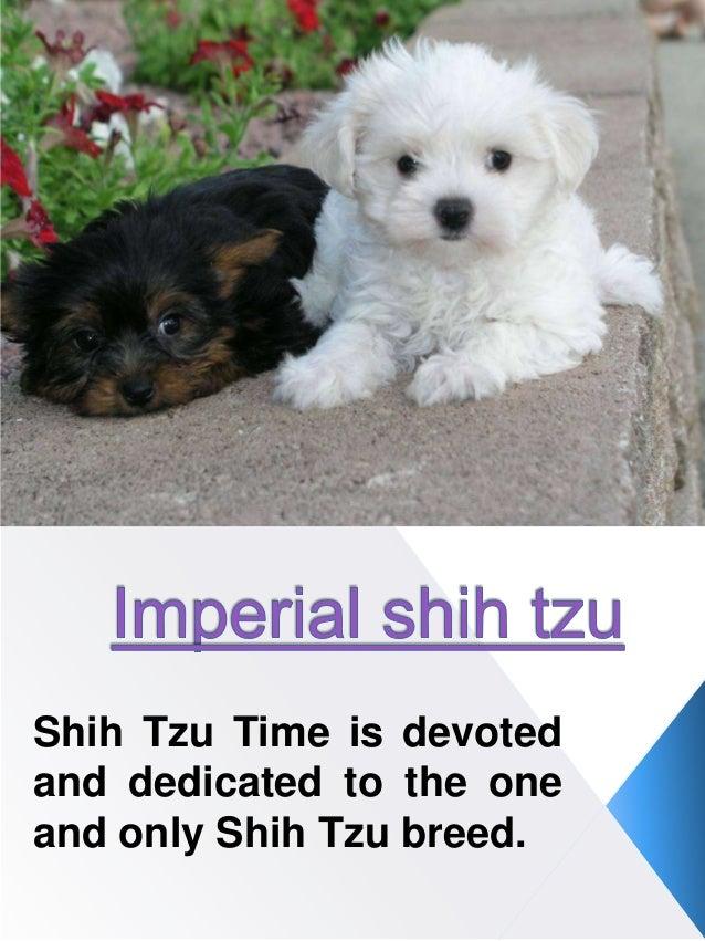 Imperial Shih Tzu