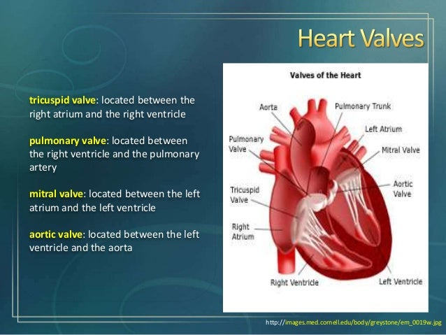 Implantation of a Tissue-engineered Heart Valve from Human ...
