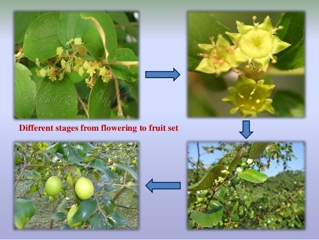 Importance of floral biology of some minor fruit crops(like