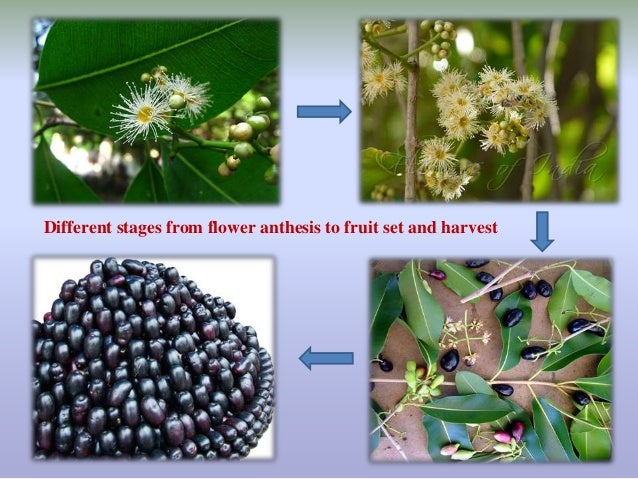anthesis to