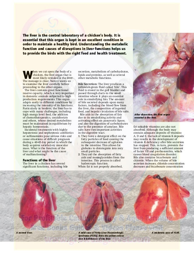 Importance Of Liver Health Of Poultry In Poultry Farming