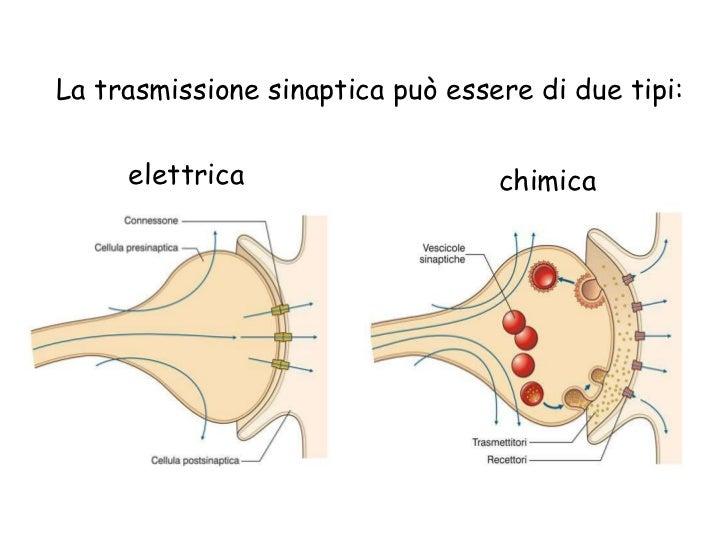trasmissione impulso nervoso pdf
