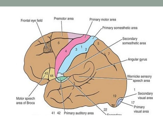 Supplementary motor area • The supplementary motor area ( area 6) is situated in the  medial frontal gyrus on the medial s...