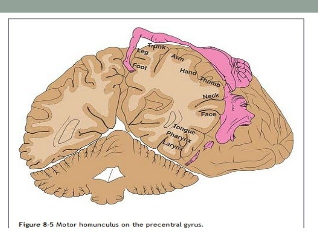 Broca's speech area • Brodmann area 44 • It is located in the inferior frontal gyrus. • In the majority of individuals, th...
